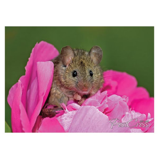 https://lh3.googleusercontent.com/-FYuIAa33Lhg/VuKWaYKWq4I/AAAAAAABICg/2eldC-T6nW4-r-GnDaA1lRaLZygvH9W0ACCo/s512-Ic42/Postcross_postcard_241013_mouse_in_flower.jpg