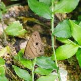 Hermeuptychia harmonia (A. Butler, 1867). Mount Totumas, 1880 m (Chiriquí, Panamá), 21 octobre 2014. Photo : J.-M. Gayman