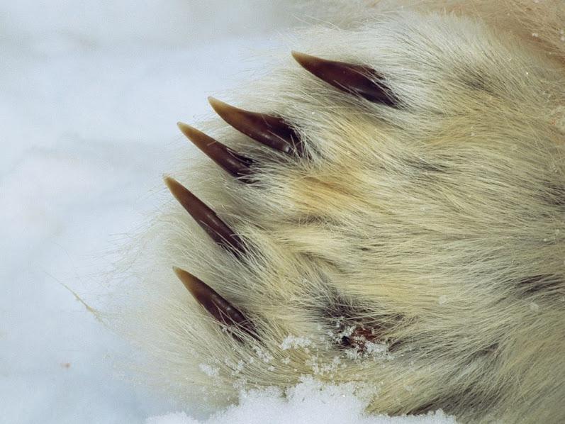 Urso pardo vs Urso polar - Página 2 Polar-bear-claw_664_990x742