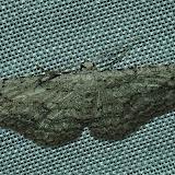 Geometridae : Ennominae : Boarmiini : Phelotis cognata WALKER, 1860, mâle, forme grise. Umina Beach (N. S. W., Australie), 1er janvier 2012. Photo : Barbara Kedzierski