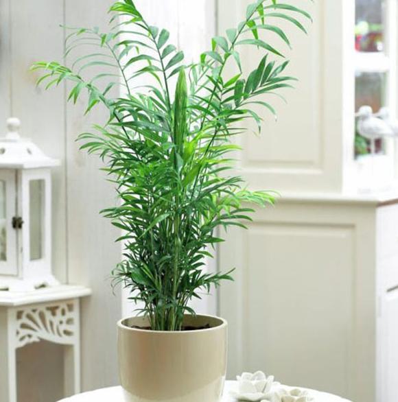 Palem Bambu (Chamaedorea Sefrizii) Tanaman Dalam Ruangan Anti Racun