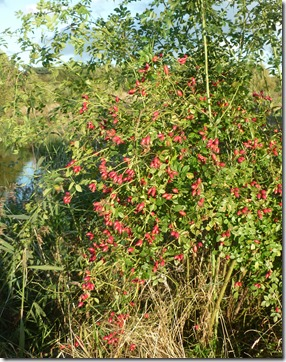 4 rosehips in nature reserve