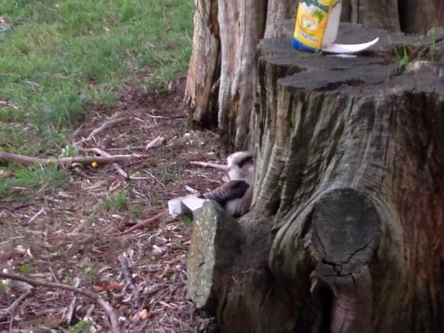 how to get a pet kookaburra