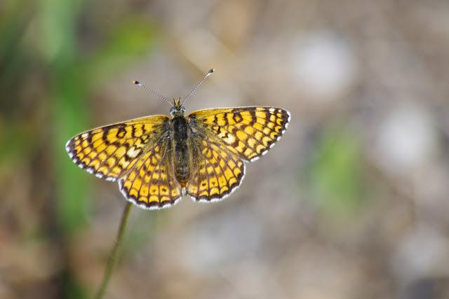 Melitaea cinxia (L., 1758), mâle. Aix-en-Provence (13, France), 28 juillet 2014. Photo : J.-M. Gayman