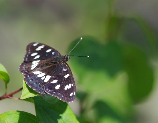 Limenitis reducta Staudinger, 1901. Les Hautes-Courennes (430 m), Saint-Martin-de-Castillon (Vaucluse), 19 juin 2015. Photo : J.-M. Gayman