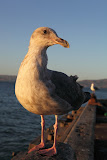 Sea gull – a very cool bird, allowed me to take the photo from a distance of only one foot! (© 2010 Bernd Neeser)
