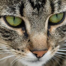 Feline Gaze  by Andrius La Rotta Esquivel - Animals - Cats Portraits ( cat portrait, cats, fotógrafo, gato, gatos, cat, fotografía, colombia )