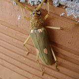 Cerambycidae : Eburini : Susucanga octoguttata. Pitangui (MG, Brésil), 31 octobre 2009. Photo : Nicodemos Rosa