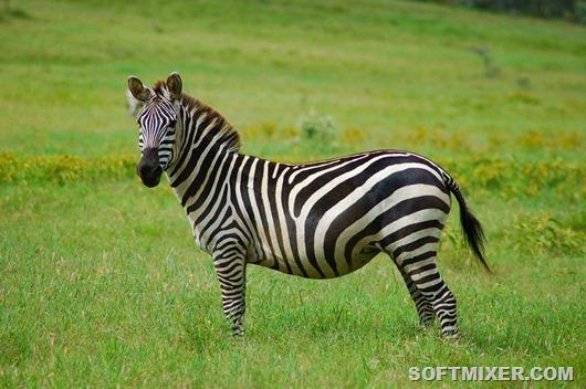 1200px-Equus_quagga