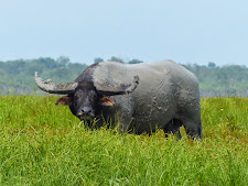 This bull is 48 inches wide with bases 18-19 inches thick. He is the bull of any buffalo hunters dreams!