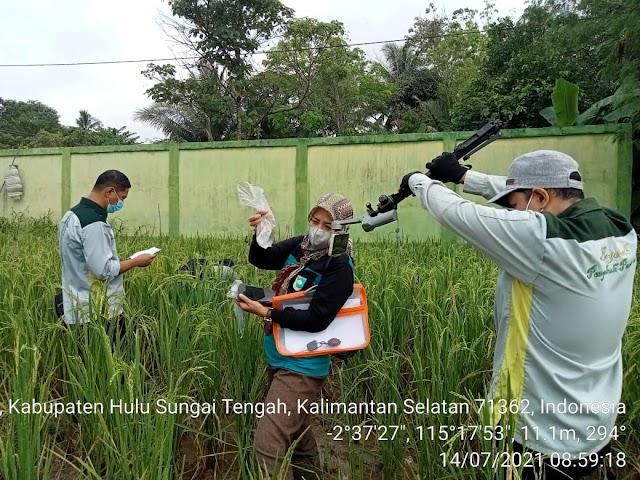 Waspada Serangan OPT Tanaman Padi Lahan Rawa di Musim Hujan, Penyuluh HST Belajar Pengendaliannya dari BBPP Binuang