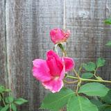 Gardening 2011 - 100_7581.JPG
