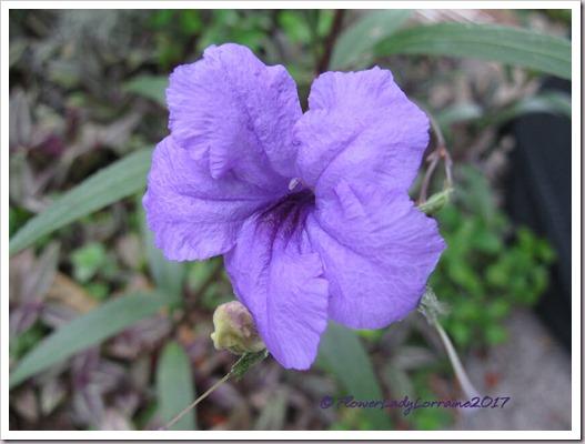 09-01-mexican-petunia