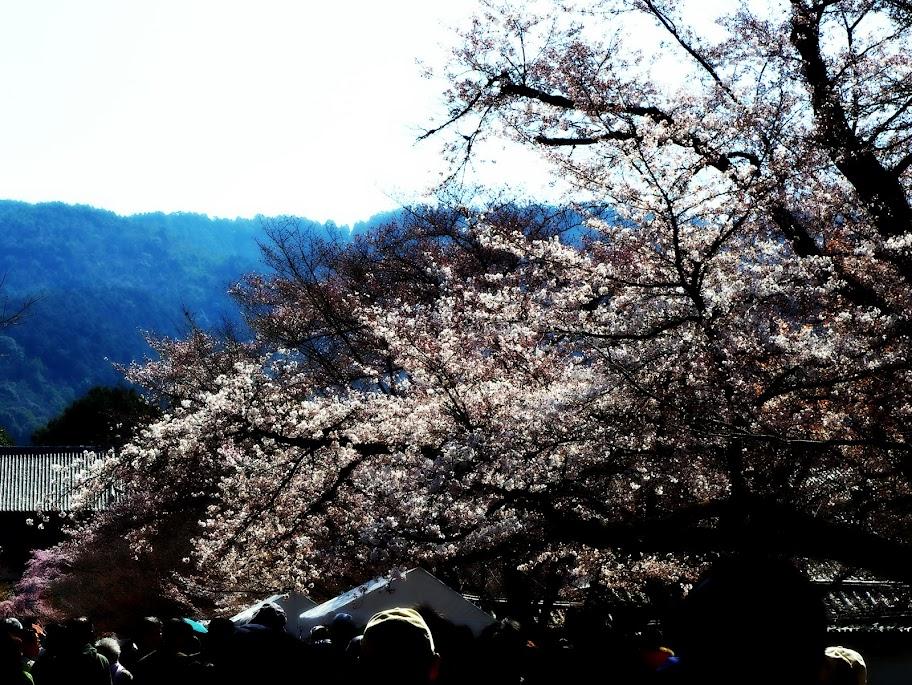 京都櫻花行~2