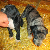 Available black male & blue merle female @ 5 weeks