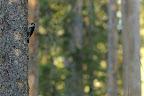 DISCRET PIC   Le pic tridactyle, très rare, est de taille comparable à celle d'un pic épeiche