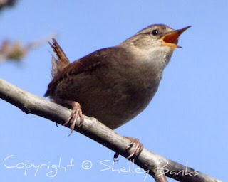 Wren. Amsterdam. © Copyright, Shelley Banks, all rights reserved.