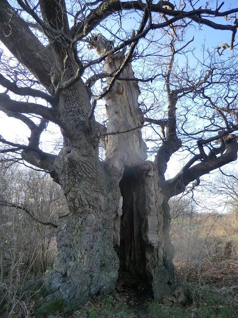 CIMG8171 Sentry Box Oak, Lullingstone Park