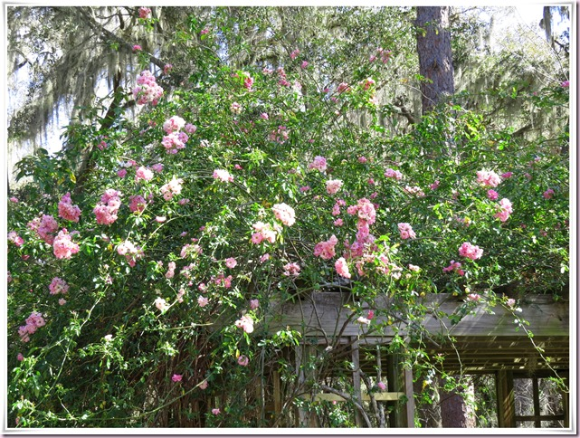 rosesIMG_8196