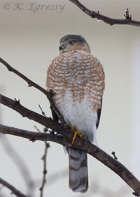 Adult Sharp-shinned Hawk (Karl Egressy)