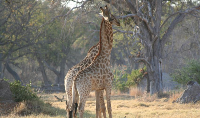 The giraffe (Giraffa camelopardalis) is now threatened with extinction, according to the IUCN Red List. Photo: Alicia Wirz / IUCN Photo Library