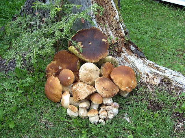 funghi stefanato 005.jpg