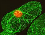 Arabidopsis suspension cell showing the organization of actin filaments (green). Nucleus (red). Imaged by Kandasamy, Meagher's Lab