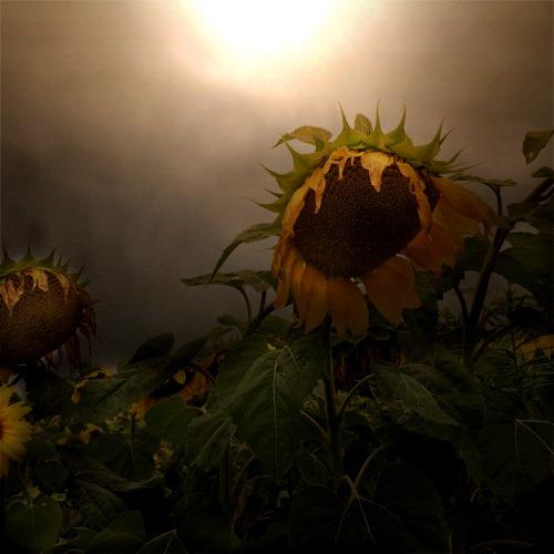 [sunflower+in+the+morning%5B3%5D]