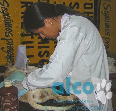 campaña esterilizacion VES 2008 (3)