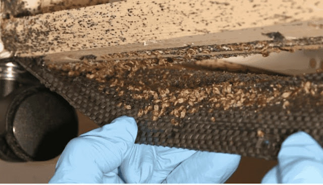 Bedbugs in Embu estates. PHOTO | BMS