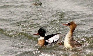 [bayoffundy.ca-SEABIRDS-40-Good-reaso%5B47%5D]