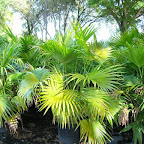 chinese fan palm.jpg