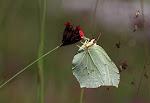 Citronsommerfugl, Gonepteryx rhamni.jpg