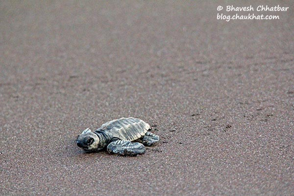 Olive Ridley sea turtle baby crawling towards the Arabian sea