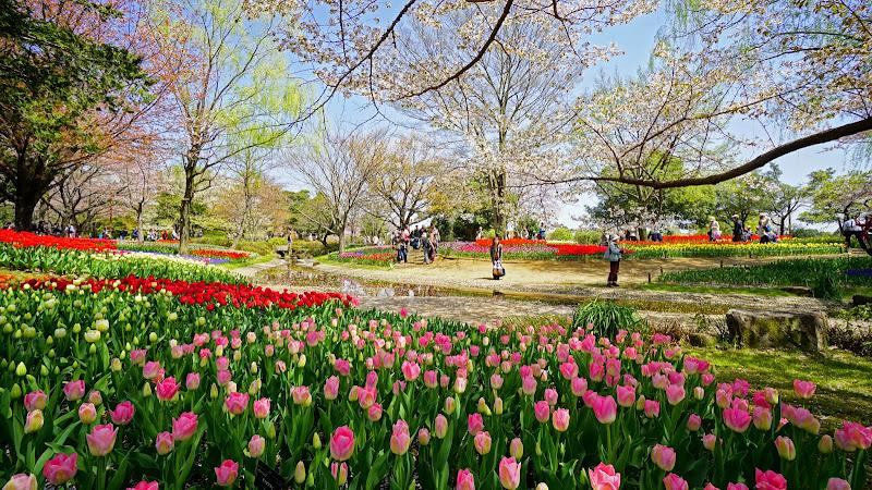 昭和記念公園 桜 写真12