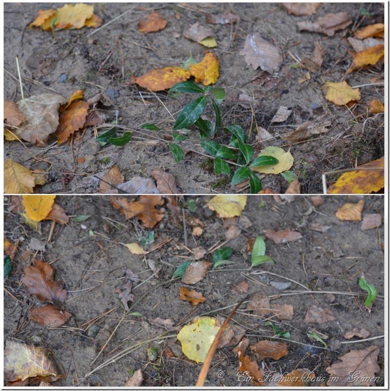 Bodendecker soll zwischen den Gräsern wachsen.