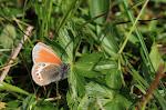 Coenonympha gardetta3.jpg