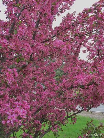 Flowering Tree (2)