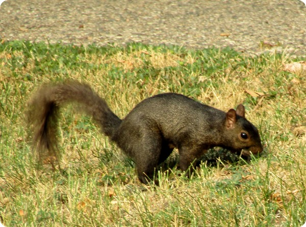 IMG_9109 Black Squirrel Mammal (1)
