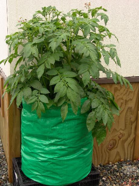 Thử nghiệm cách trồng khoai tây trong túi đơn giản cực sai củ - 55e4db48c6367
