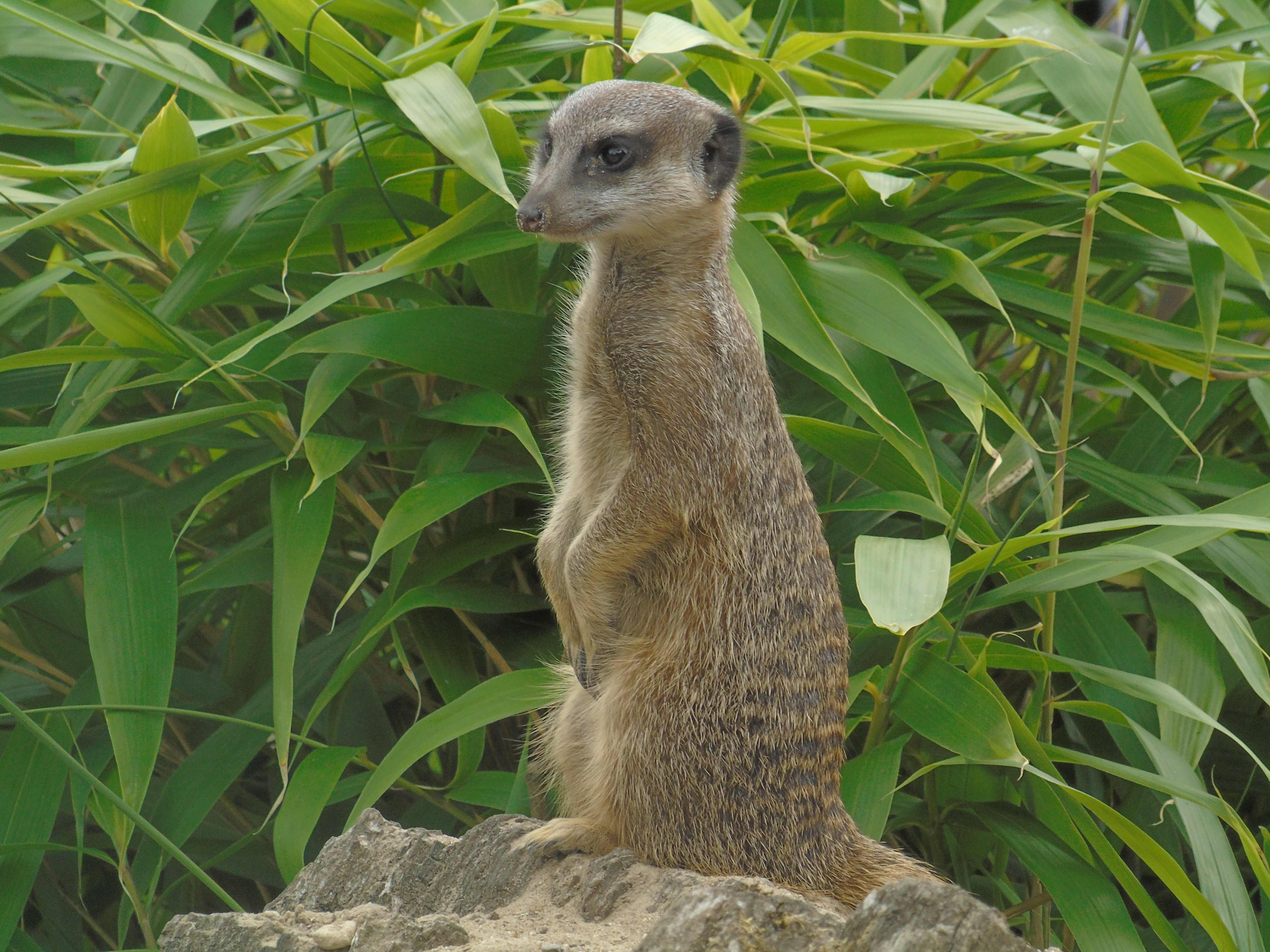 meerkat reference photo