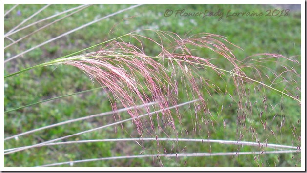 11-09-pink-muhly-grass2