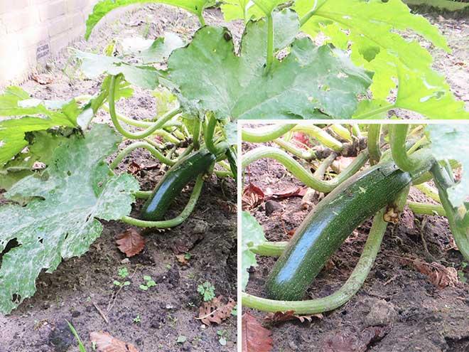 courgette-plant met rijpe vrucht
