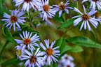 Blue wood asters.