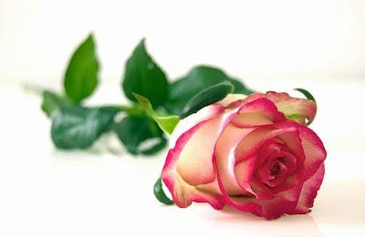 Rose Flower information in marathi