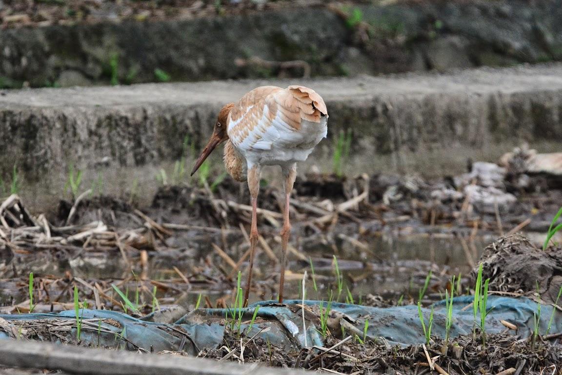 金山清水濕地 - 白鶴