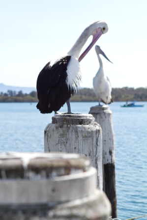 South Coast Pelicans