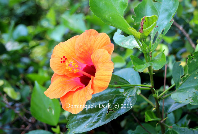 An orange hibiscus