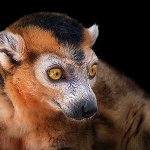 Lemur Red6 refresh3.JPG