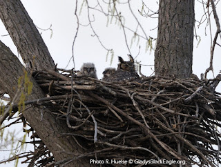 Great horned owls are considered Iowa's earliest nesters. They do not build their own, but will add soft materials and pellets to larger stick nests like bald eagles or red-tailed hawks. This is was an eagle's nest the year before.